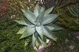 Aloe Plant Muursticker van Henri Silberman