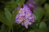 Pink Rhododendron Muursticker van Henri Silberman