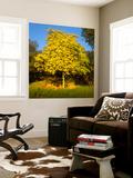 Acacia Tree in Bloom, Oakland, CA (Yellow Flowering Tree) Wall Mural by Henri Silberman