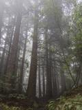 Redwood Trees in Fog (Northern California Landscape) Veggoverføringsbilde av Henri Silberman