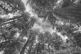 Enraptured by Trees, Redwood Coast California Fotografie-Druck von Vincent James