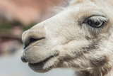 Llama in Purmamarca, Jujuy, Argentina. Photographic Print by Anibal Trejo