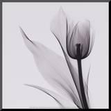 Tulip Impressão montada por Marianne Haas