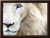 Full Frame Close Up Portrait of a Male White Lion with Blue Eyes.  South Africa. Framed Photographic Print by Karine Aigner