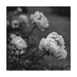 Peony Flowers in Garden Lámina fotográfica por Henri Silberman