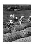 Japanische Teepflückerinnen in Shizuoko, 1938 Fotografie-Druck von Scherl Süddeutsche Zeitung Photo