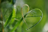 Grass Formed Itself in a Heart Shape with Morning Dew Photo by Frank May