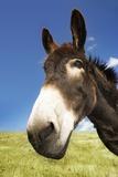 Donkey in Green Field, Close-Up of Head Fotografía