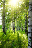 Summer Birch Woods with Sun Fotografisk trykk av  Kokhanchikov
