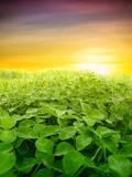 Green Clover Field Valokuvavedos tekijänä Željko Radojko