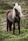 Iceland Horse Photographic Print by  TTstudio