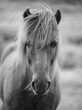 Portrait of Icelandic Horse in Black and White Fotografie-Druck von Aleksandar Mijatovic