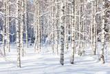 Snowy Birch Trunks Lámina fotográfica por  thakala