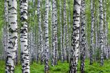 Nice Summer Birch Forest Fotografie-Druck von  Kokhanchikov