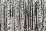 Winter Birch Forest Fotografie-Druck von  Kokhanchikov
