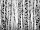 Winter Trunks Birch Trees Reproduction photographique par Elena Kovaleva