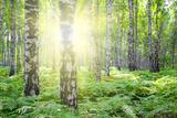 Summer Birch Woods with Sun Fotografie-Druck von  Kokhanchikov