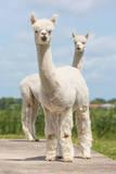 Two Peruvian Alpacas in a Dutch Animal Park Fotografie-Druck von  kruwt