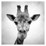 Giraffe Plakater