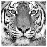Tigre Affiche