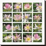 Lily Squares Stretched Canvas Print by Malcolm Sanders