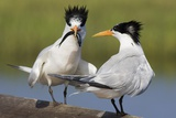 Elegant Tern Offers Fish to Potential Mate Reproduction photographique par Hal Beral
