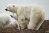 Polar Bear and Cub by Hudson Bay, Manitoba, Canada Stampa fotografica di Paul Souders