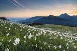 White Daffodil Blooming Stampa fotografica di Frank Lukasseck