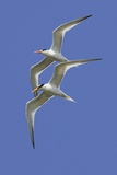 Pair of Elegant Terns in Fight Reproduction photographique par Hal Beral