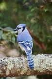 Blå skovskade Fotografisk tryk af Gary Carter