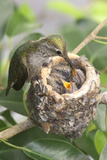 Anna's Hummingbird Feeds Chicks in it's Nest Reproduction photographique par Hal Beral