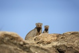 Banded Mongoose and Baby Lámina fotográfica por Richard Du Toit
