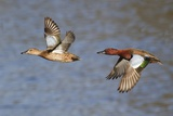 Cinnamon Teal Drake and Hen Flying Reproduction photographique par Hal Beral