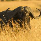 African Buffalo Photographic Print by Joe McDonald