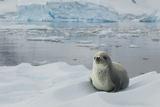Crabeater Seal on Ice Fotografie-Druck von Joe McDonald