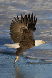 Bald Eagle Catchs a Fish in it's Talons Reproduction photographique par Hal Beral
