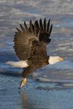 Bald Eagle Catchs a Fish in it's Talons Lámina fotográfica por Hal Beral