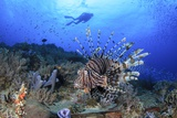 Lion Fish and Scuba Diver Photographic Print by Bernard Radvaner