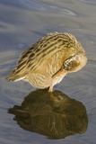 Light-Footed Clapper Rail Grooming Reproduction photographique par Hal Beral