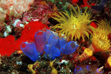 Blue Sea Squirts or Tunicates (Dendrophillia) and Yellow Cave Coral (Tubastrea) Fotografie-Druck von Reinhard Dirscherl