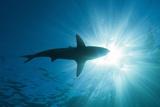 Blacktip Shark (Carcharhinus Limbatus) Reproduction photographique par Reinhard Dirscherl