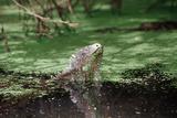 Green Leguan Reproduction photographique par Reinhard Dirscherl