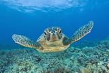 Green Turtle (Chelonia Mydas), Maui, Hawaii, USA Reproduction photographique par Reinhard Dirscherl