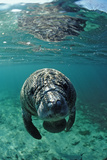 West Indian Manatee, Calf, Trichechus Manatus Latirostris, Usa, Florida, Fl, Crystal River Premium-Fotodruck von Reinhard Dirscherl