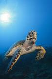 Hawksbill Turtle Reproduction photographique par Reinhard Dirscherl