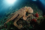 Octopus (Octopus Vulgaris) Fotoprint van Reinhard Dirscherl
