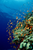 Schooling Lyretail Anthias and near a Coral Reef. (Pseudanthias Squamipinnis) Red Sea Fotografisk tryk af Reinhard Dirscherl