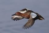 Cinnamon Teal Drake in Flight Reproduction photographique par Hal Beral