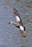 Blue-Winged Teal Drake in Flight Reproduction photographique par Hal Beral