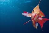 Lytretail Fairy Basslet (Pseudanthias Squamipinnis) Marsa Alam, Red Sea, Egypt Reproduction photographique par Reinhard Dirscherl